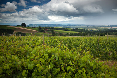 Vinyards, Willamette Valley, Oregon