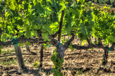 Grapevines in summer Paso Robles Ca.