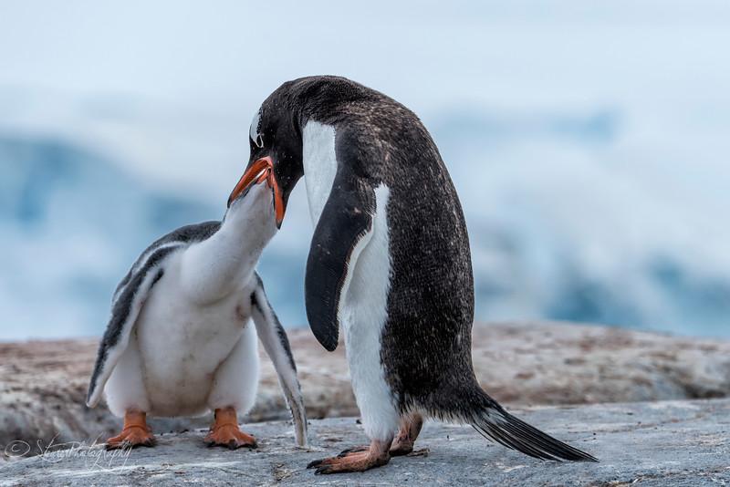 Gentoo penguin feeding her chick, Antarctic peninsula 2015