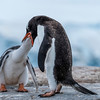 Gentoo penguin feeding her chick, Antarctic peninsula 2015