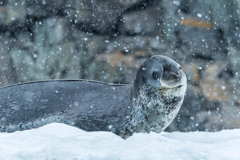 Leopard Seal on ice shell, Antarctic Peninsula 2015