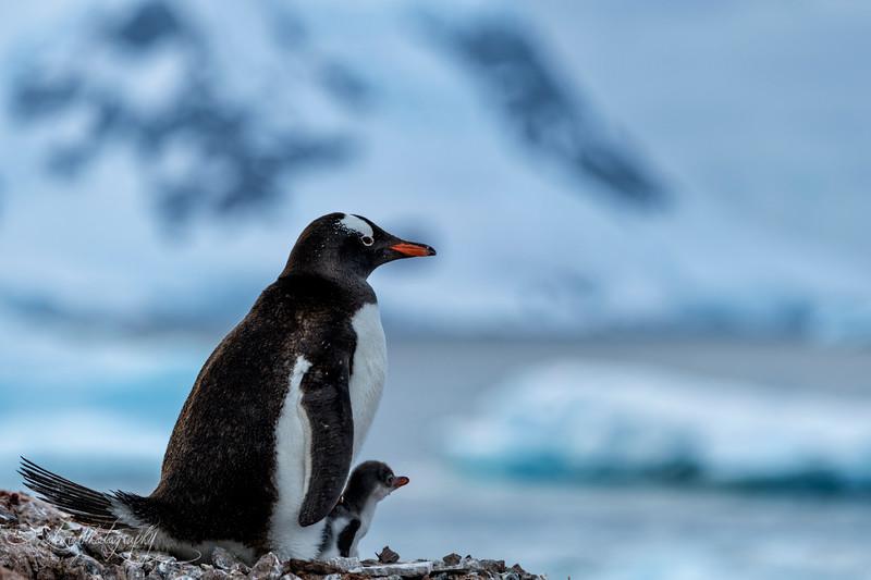 Gentoo penguin family, Antarctic peninsula, 2015