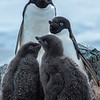 Adélie penguin family, Antarctic peninsula 2015