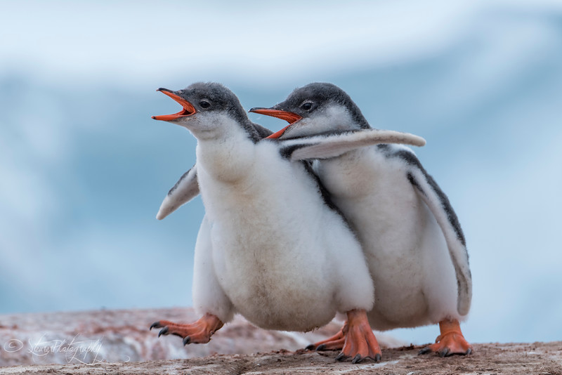 Gentoo penguin chicks, Antarctic peninsula 2015