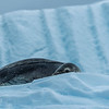 Leopard Seal on ice shell, Antarctic Peninsula 2015
