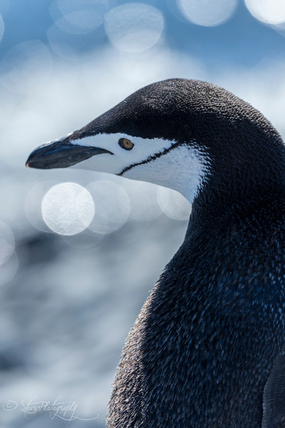 Chinstrap penguin, Antarctic peninsula, 2015