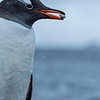 Gentoo penguin building a nest, Antarctic peninsula, 2015