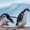 Gentoo penguin chicks, Antarctic peninsula 2015