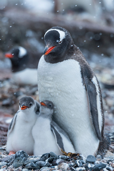 Gentoo penguin family, Antarctic peninsula, 2015