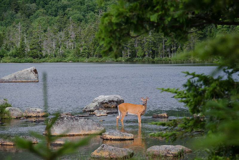 A deer at Sandy Stream Pond