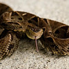 The Fer De lance is the most deadly sname in Costa Rica