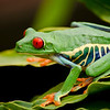 Tree Frog 2