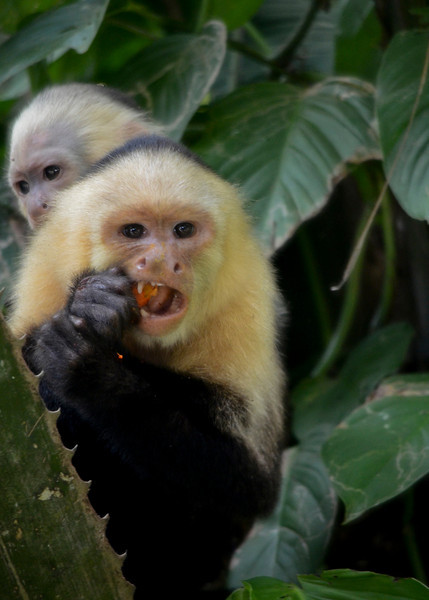 Hungry Capuchins.