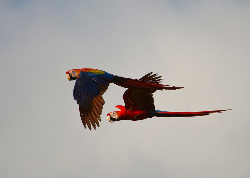 Scarlet Macaws in flight. Scarlet Macaws mate for life and are very social birds. They can be heard calling to each other well before they are seen. They are seen flying in pairs most of the time, sometimes a trio. Fittingly I would describe the call they make to sound like an old married couple arguing.