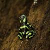 Poision Dart Frog