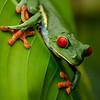 Tree Frog #1