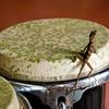 Bongo Lizard