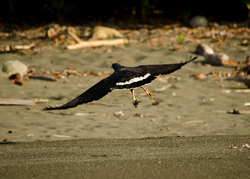 Gocha. This Mangrove Hawk (aka Common Hawk)  grabs a quick crab snack from the beach of Corcovado National Park