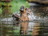 African White-backed duck - Splash time