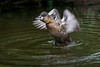 African White-backed duck - Take off