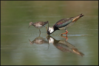( Northern ) Lapwing - Pavoncella ( Vanellus vanellus ) & Wood Sandpiper - Piro Piro Boschereccio ( Tringa glareola )   Giuseppe Varano - Nature and Wildlife Images - Birds and Nature Photography