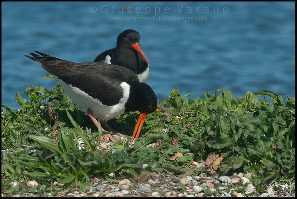 ( Eurasian ) Oystercatcher - Beccaccia di mare ( Haematopus ostralegus )   Giuseppe Varano - Nature and Wildlife Images - Birds and Nature Photography