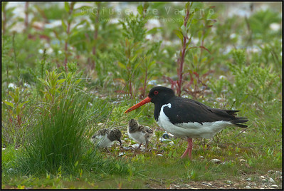 ( Eurasian ) Oystercatcher - Beccaccia di mare ( Haematopus ostralegus )   Giuseppe Varano - Nature and Wildlife Images - Birds and Nature Photography