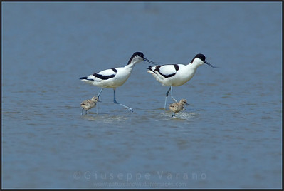 ( Pied ) Avocet - Avocetta ( Recurvirostra avosetta )   Giuseppe Varano - Nature and Wildlife Images - Birds and Nature Photography