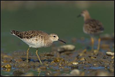Ruff - Combattente ( Philomachus pugnax )   Giuseppe Varano - Nature and Wildlife Images - Birds and Nature Photography