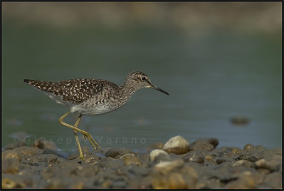 Wood Sandpiper - Piro Piro Boschereccio ( Tringa glareola )   Giuseppe Varano - Nature and Wildlife Images - Birds and Nature Photography