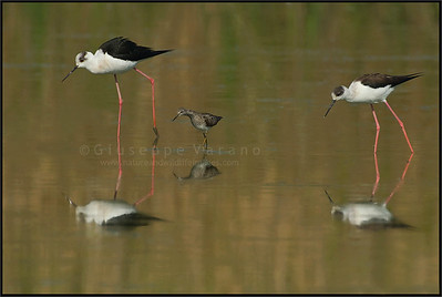 Black-winged Stilt - Cavaliere d'Italia ( Himantopus himantopus ) & Wood Sandpiper - Piro Piro Boschereccio ( Tringa glareola )   Giuseppe Varano - Nature and Wildlife Images - Birds and Nature Photography