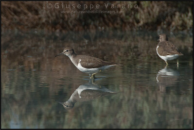 Common Sandpiper - Piro piro piccolo ( Actitis hypoleucos )   Giuseppe Varano - Nature and Wildlife Images - Birds and Nature Photography