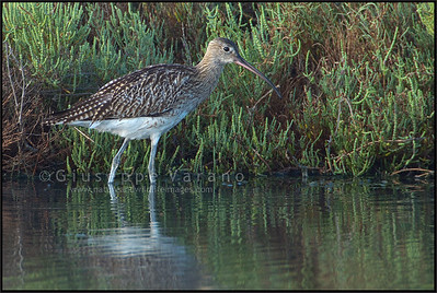 ( Eurasian ) Curlew - Chiurlo maggiore ( Numenius arquata )  Giuseppe Varano - Nature and Wildlife Images - Birds and Nature Photography