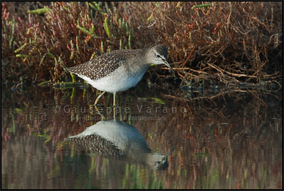 Green Sandpiper - Piro piro culbianco ( Tringa ochropus )  Giuseppe Varano - Nature and Wildlife Images - Birds and Nature Photography