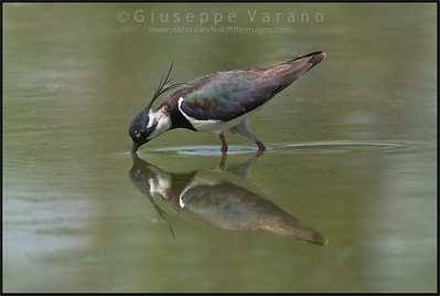 ( Northern ) Lapwing - Pavoncella ( Vanellus vanellus )   Giuseppe Varano - Nature and Wildlife Images - Birds and Nature Photography