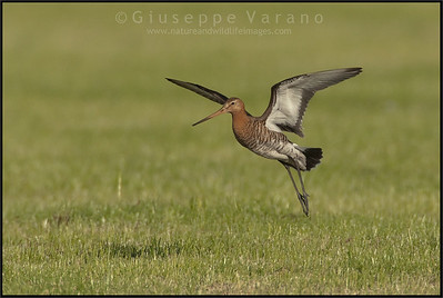 White-tailed Godwit - Pittima Reale ( Limosa limosa )   Giuseppe Varano - Nature and Wildlife Images - Birds and Nature Photography