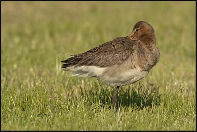 White-tailed Godwit - Pittima Reale ( Limosa limosa )   Giuseppe Varano - Nature and Wildlife Images - Birds and Nature Photography