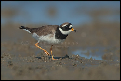 ( Common ) Ringed Plover - Corriere Grosso ( Charadrius hiaticula )   Giuseppe Varano - Nature and Wildlife Images - Birds and Nature Photography