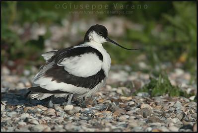 ( Pied ) Avocet - Avocetta ( Recurvirostra avosetta )   Giuseppe Varano - Nature and Wildlife Images - Birds and Nature Photography