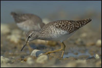 Wood Sandpiper - Piro Piro Boschereccio ( Tringa glareola )   Giuseppe Varano - Nature and Wildlife Images - Birds and Nature Photography