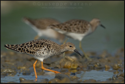 Ruff - Combattente ( Philomachus pugnax )   Giuseppe Varano - Nature and Wildlife Images - Birds and Nature Photography