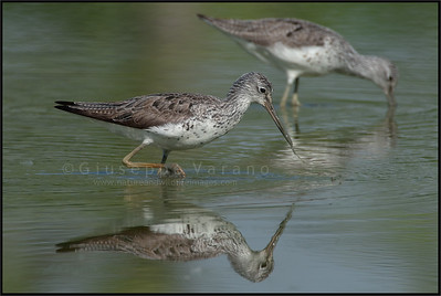 Common Greenshank - Pantana ( Tringa nebularia )   Giuseppe Varano - Nature and Wildlife Images - Birds and Nature Photography