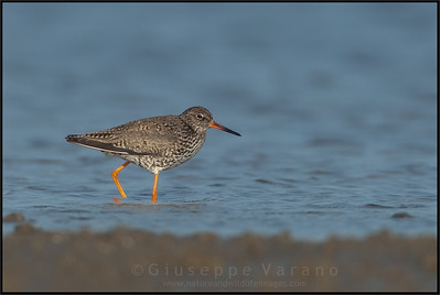 ( Common ) Redshank - Pettegola ( Tringa totanus )   Giuseppe Varano - Nature and Wildlife Images - Birds and Nature Photography