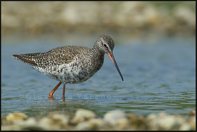 Spotted Redshank - Totano Moro ( Tringa erythropus )  Giuseppe Varano - Nature and Wildlife Images - Birds and Nature Photography