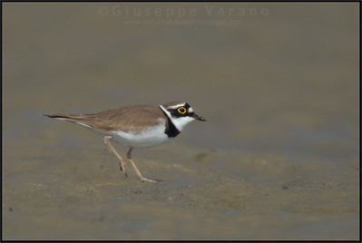 Little Ringed Plover - Corriere Piccolo  ( Charadrius dubius )   Giuseppe Varano - Nature and Wildlife Images - Birds and Nature Photography