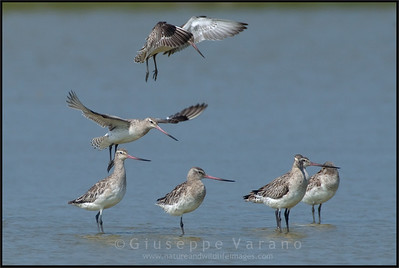 Bar-tailed Godwit -  Pittima minore ( Limosa lapponica )   Giuseppe Varano - Nature and Wildlife Images - Birds and Nature Photography