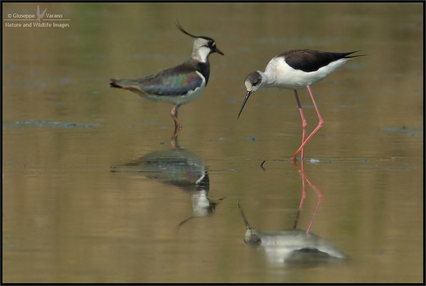 Black-winged Stilt - Cavaliere d'Italia ( Himantopus himantopus ) & ( Northern ) Lapwing - Pavoncella ( Vanellus vanellus )   Giuseppe Varano - Nature and Wildlife Images - Birds and Nature Photography