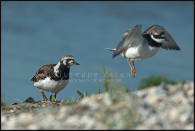 ( Ruddy )  Turnstone - Voltapietre ( Arenaria interpres )   Giuseppe Varano - Nature and Wildlife Images - Birds and Nature Photography