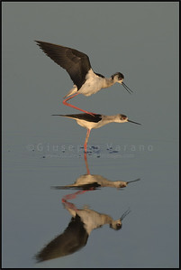 Black-winged Stilt - Cavaliere d'Italia ( Himantopus himantopus )   Giuseppe Varano - Nature and Wildlife Images - Birds and Nature Photography