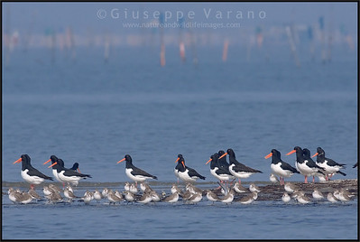( Eurasian ) Oystercatcher - Beccaccia di mare ( Haematopus ostralegus ) & Dunlins - Piovanelli pancianera ( Calidris alpina )   Giuseppe Varano - Nature and Wildlife Images - Birds and Nature Photography